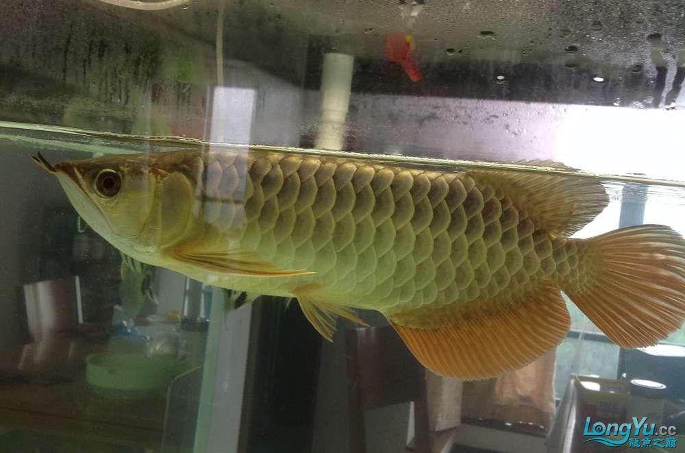 求各路大神都帮帮我这个到底是病还是伤??? 北京观赏鱼 北京龙鱼第1张