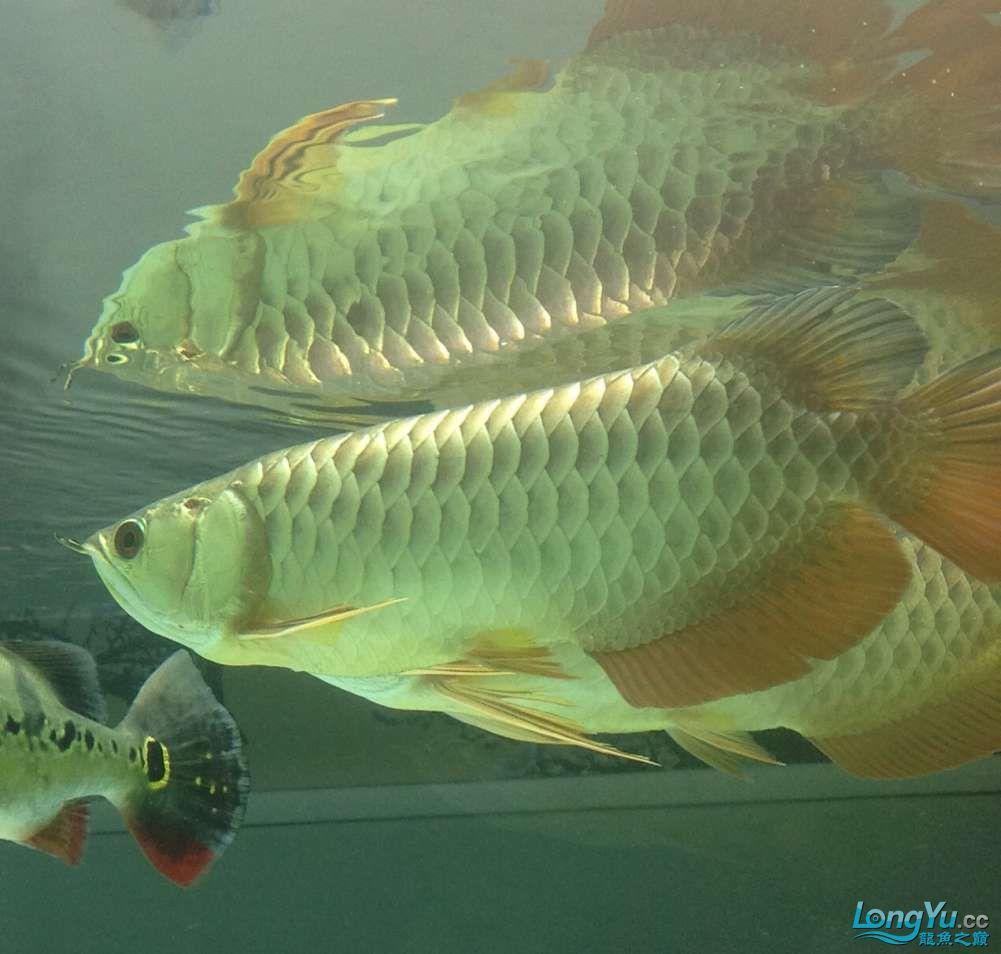 求各路大神都帮帮我这个到底是病还是伤??? 北京观赏鱼 北京龙鱼第3张