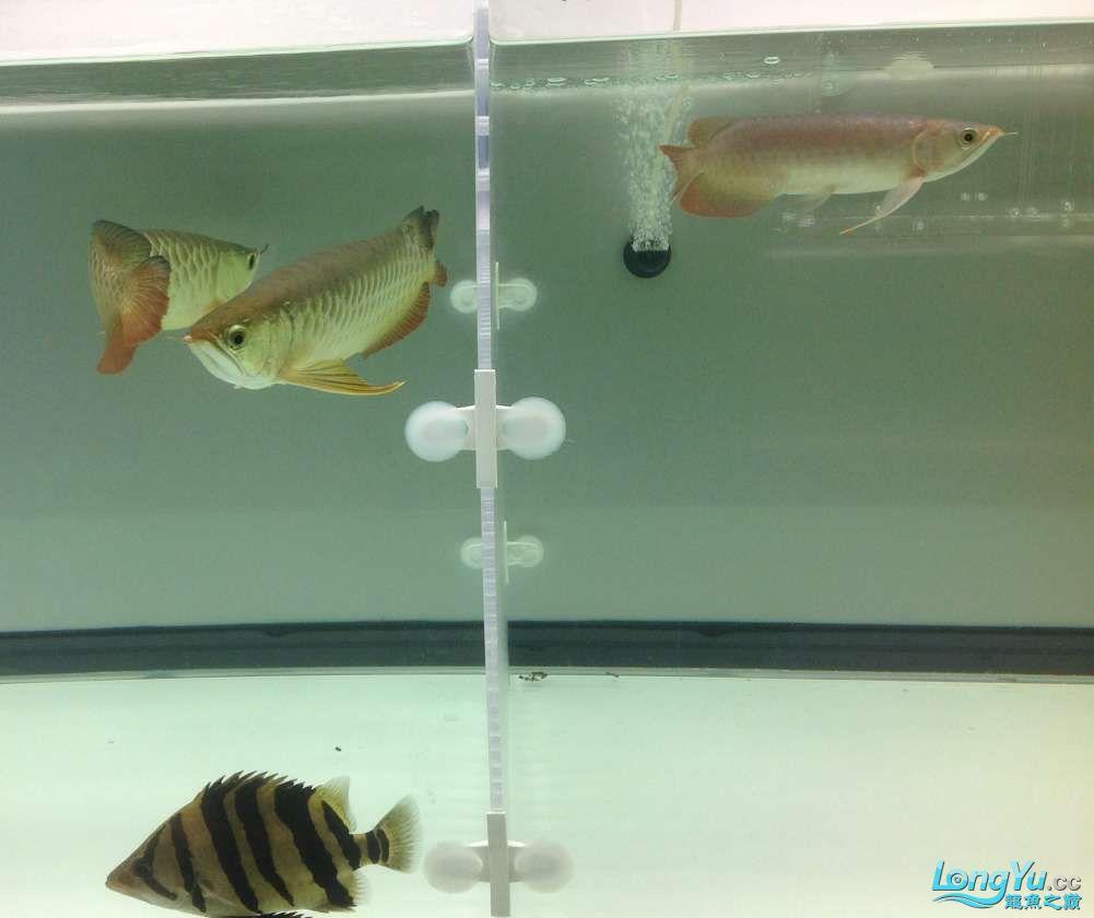 求各路大神都帮帮我这个到底是病还是伤??? 北京观赏鱼 北京龙鱼第2张