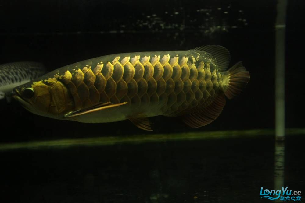 我北京布隆迪六间哪个店的最也来发条高背 北京观赏鱼 北京龙鱼第1张