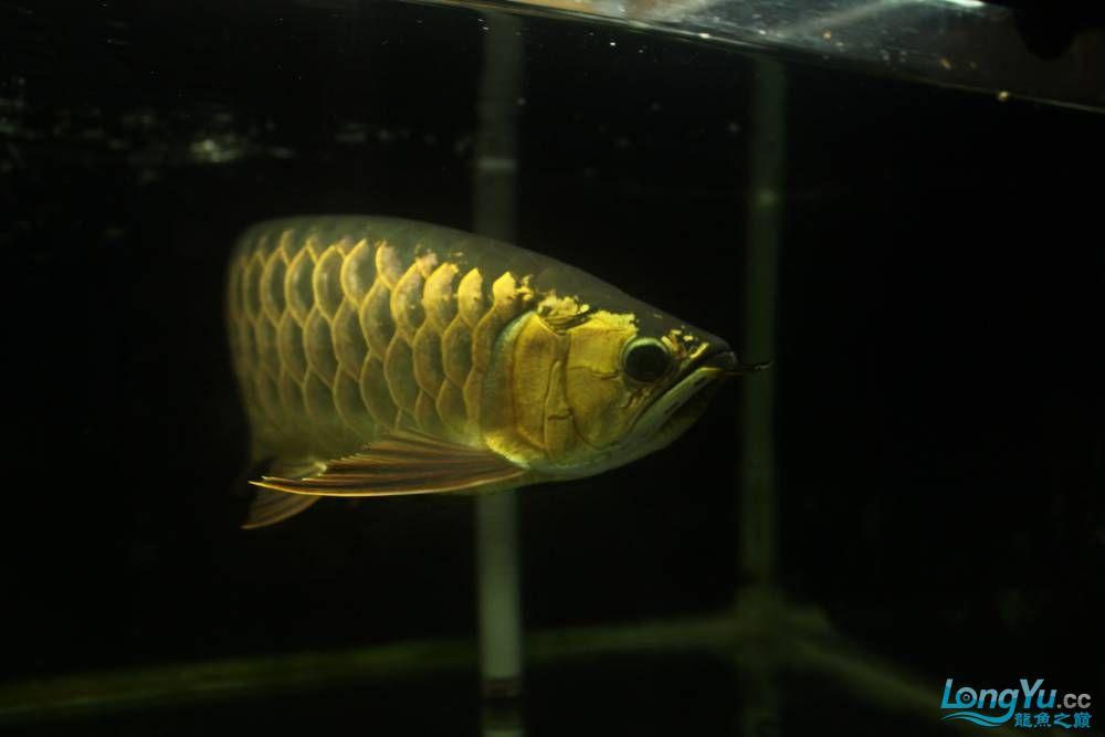 我北京布隆迪六间哪个店的最也来发条高背 北京观赏鱼 北京龙鱼第3张