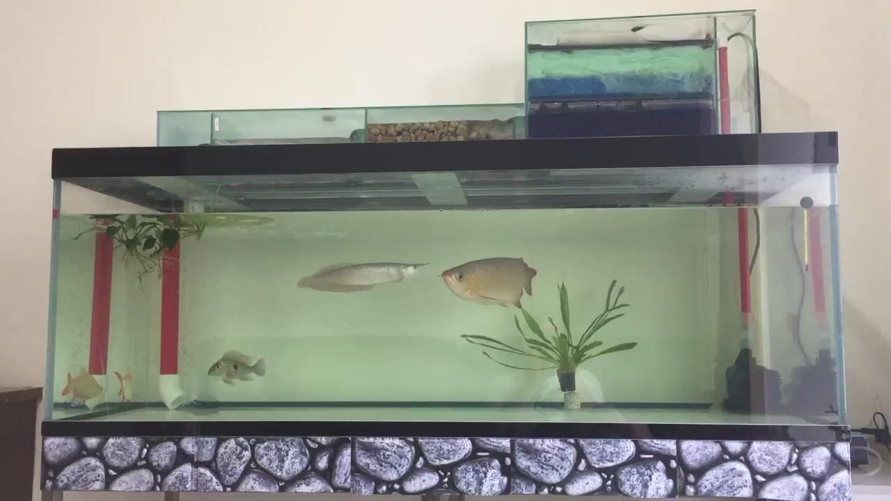 一米龙赤血入缸第一天 北京观赏鱼 北京龙鱼第1张