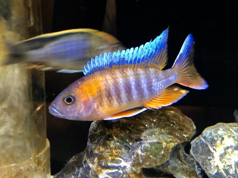 还是红珊瑚最讨喜 北京观赏鱼 北京龙鱼第1张