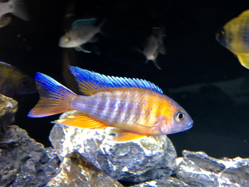 还是红珊瑚最讨喜 北京观赏鱼 北京龙鱼第2张