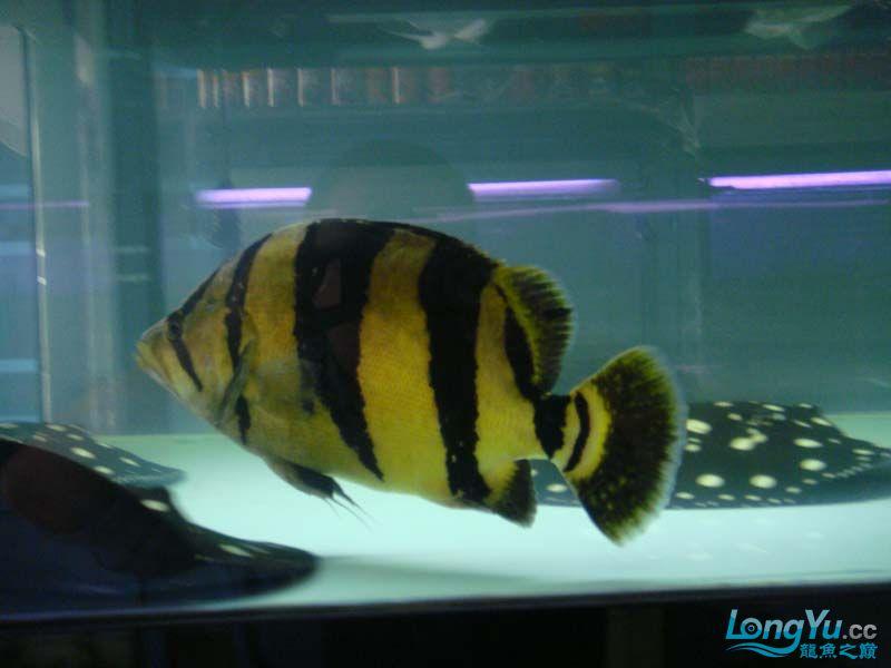 在朋友店寄卖的大泰虎37cm 北京观赏鱼 北京龙鱼第1张