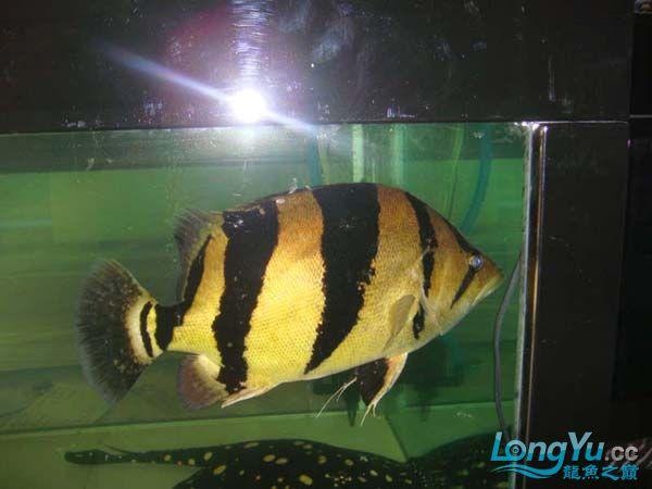 在朋友店寄卖的大泰虎37cm 北京观赏鱼 北京龙鱼第3张
