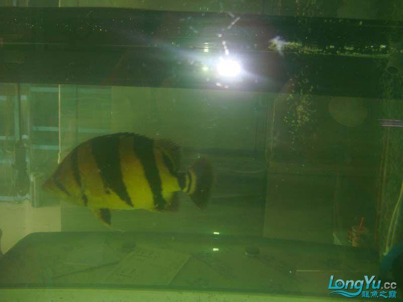 在朋友店寄卖的大泰虎37cm 北京观赏鱼 北京龙鱼第4张