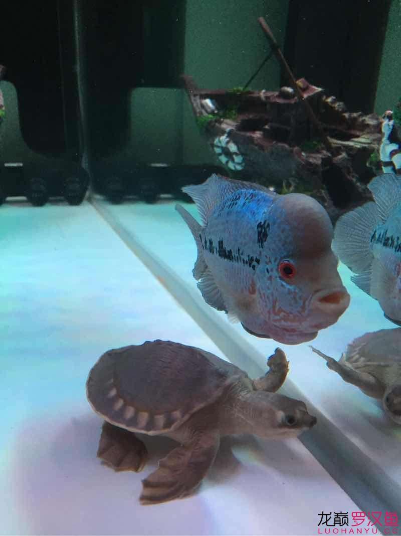 这样的基情会不会影响起头呢? 北京观赏鱼 北京龙鱼第3张