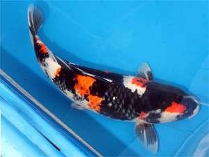 你们觉得这条鱼怎么样呢? 北京龙鱼论坛 北京龙鱼第2张