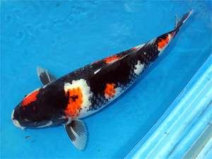 你们觉得这条鱼怎么样呢? 北京龙鱼论坛 北京龙鱼第1张