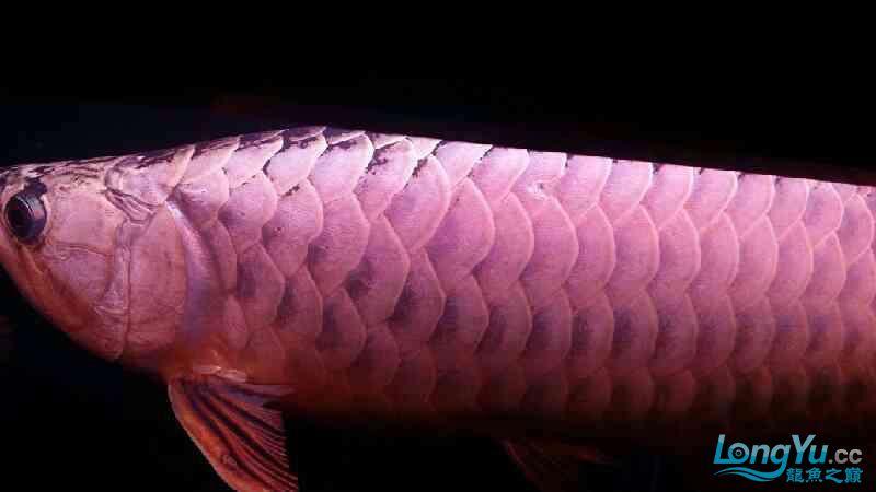 大神帮忙看下皇冠肚里是不是有鱼蛋 北京观赏鱼 北京龙鱼第1张
