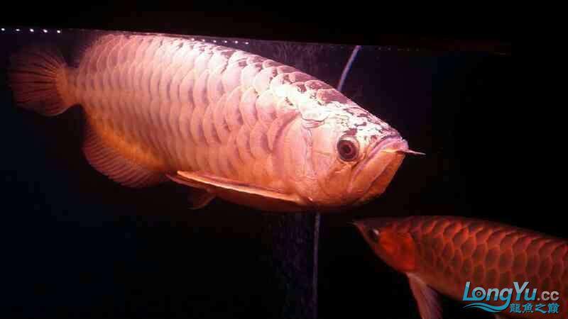 大神帮忙看下皇冠肚里是不是有鱼蛋 北京观赏鱼 北京龙鱼第2张
