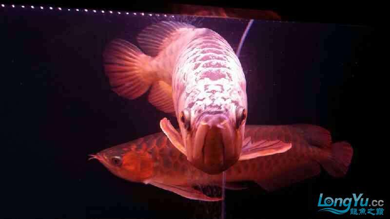 大神帮忙看下皇冠肚里是不是有鱼蛋 北京观赏鱼 北京龙鱼第3张