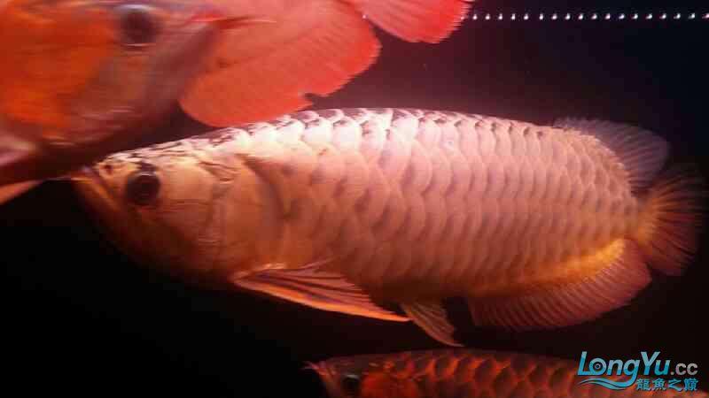大神帮忙看下皇冠肚里是不是有鱼蛋 北京观赏鱼 北京龙鱼第4张
