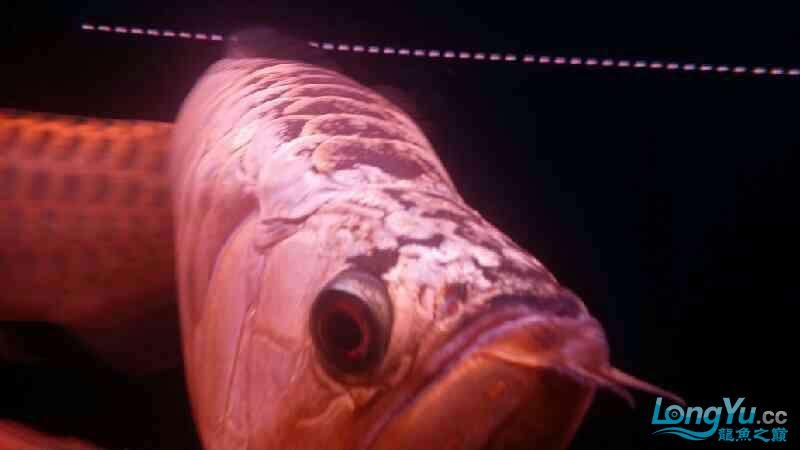 大神帮忙看下皇冠肚里是不是有鱼蛋 北京观赏鱼 北京龙鱼第6张