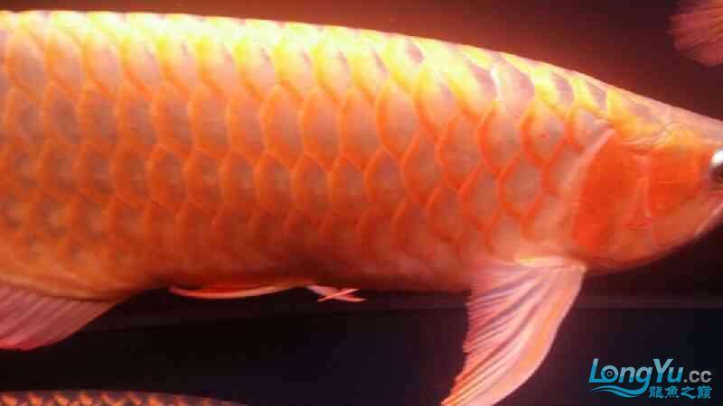 大神帮忙看下皇冠肚里是不是有鱼蛋 北京观赏鱼 北京龙鱼第7张