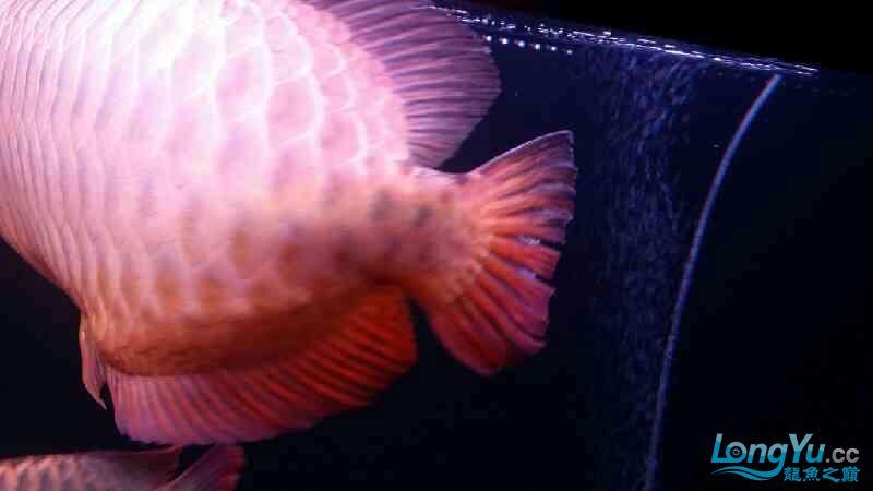 大神帮忙看下皇冠肚里是不是有鱼蛋 北京观赏鱼 北京龙鱼第9张