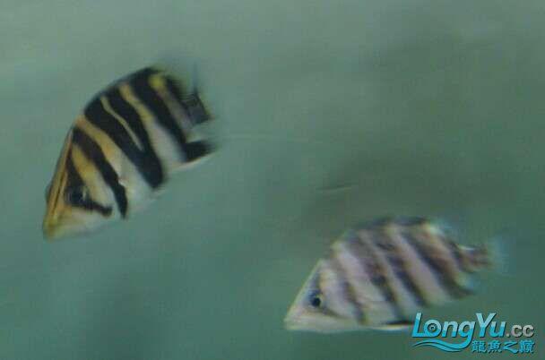 比较特别的两条明虎却不同的体色 北京观赏鱼 北京龙鱼第1张
