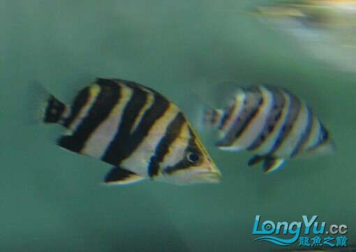 比较特别的两条明虎却不同的体色 北京观赏鱼 北京龙鱼第2张