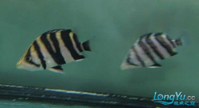 比较特别的两条明虎却不同的体色 北京观赏鱼 北京龙鱼第3张