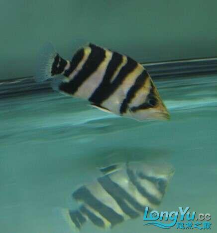 比较特别的两条明虎却不同的体色 北京观赏鱼 北京龙鱼第5张