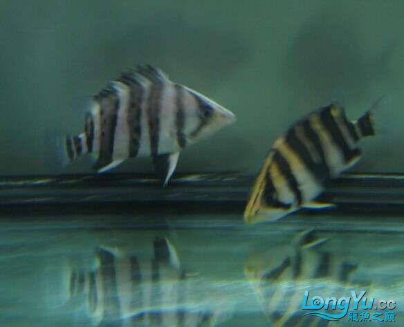 比较特别的两条明虎却不同的体色 北京观赏鱼 北京龙鱼第4张