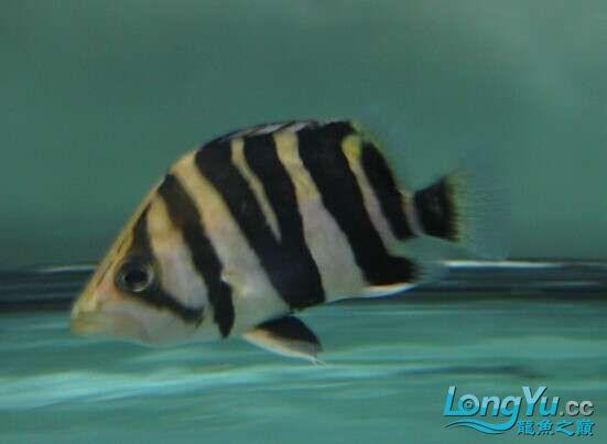 比较特别的两条明虎却不同的体色 北京观赏鱼 北京龙鱼第6张
