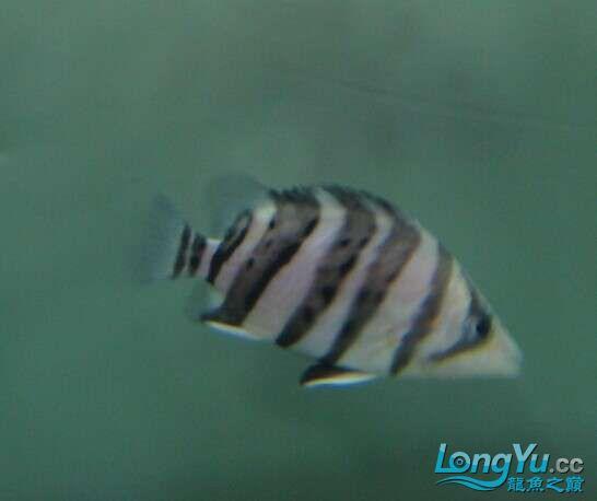 比较特别的两条明虎却不同的体色 北京观赏鱼 北京龙鱼第7张