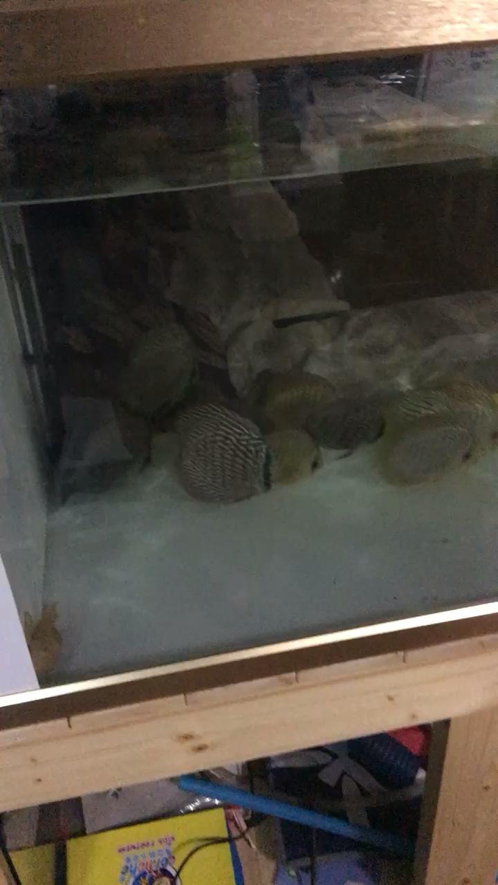 知道我要拍你就散开了 北京观赏鱼 北京龙鱼第1张