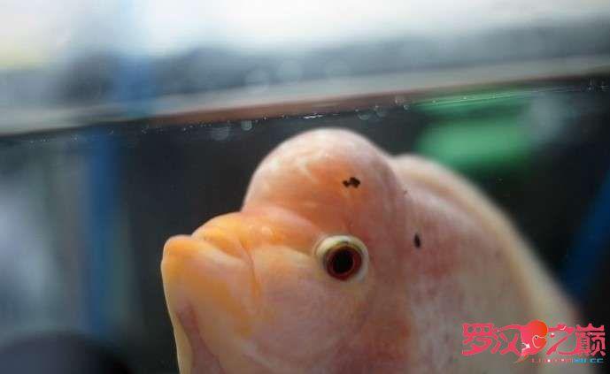 新练就的技能配置好了就是漂亮 北京观赏鱼 北京龙鱼第3张