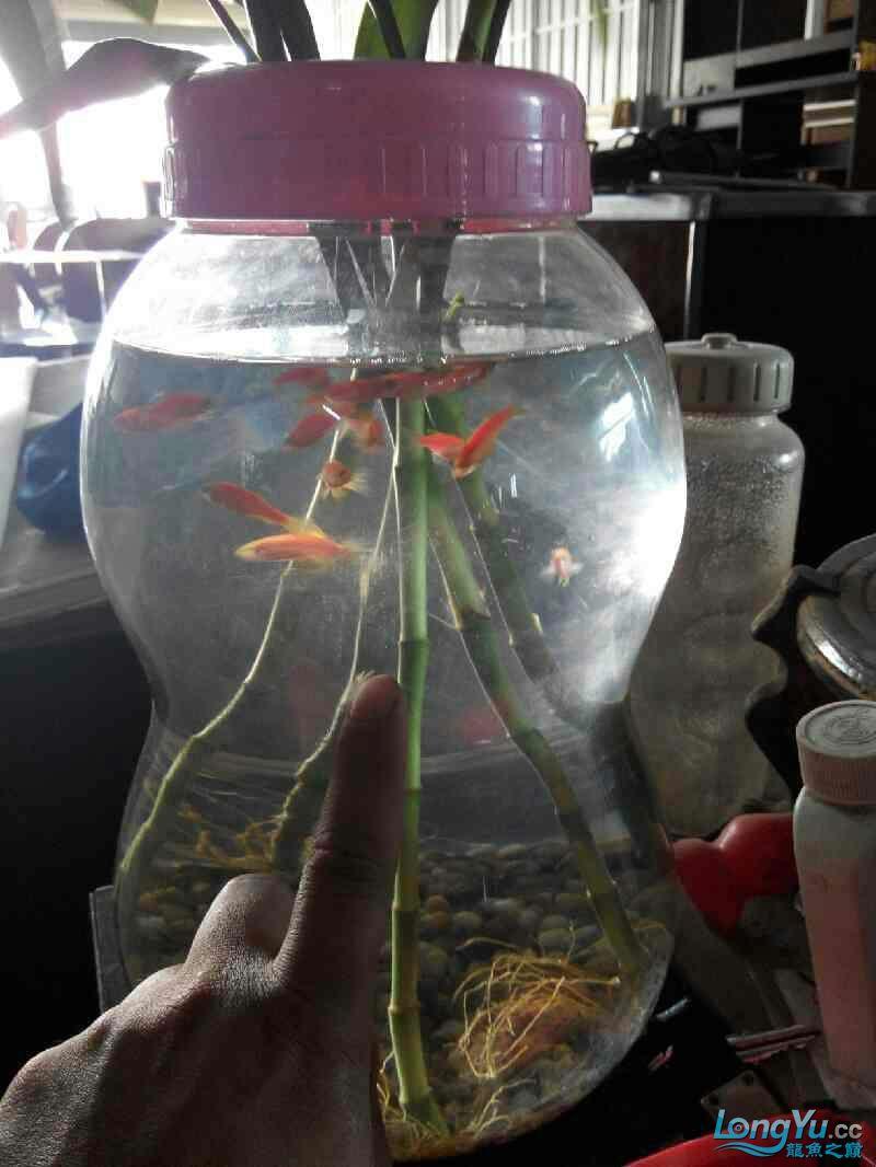 尖叫声在哪?15条红大混养 北京龙鱼论坛 北京龙鱼第1张