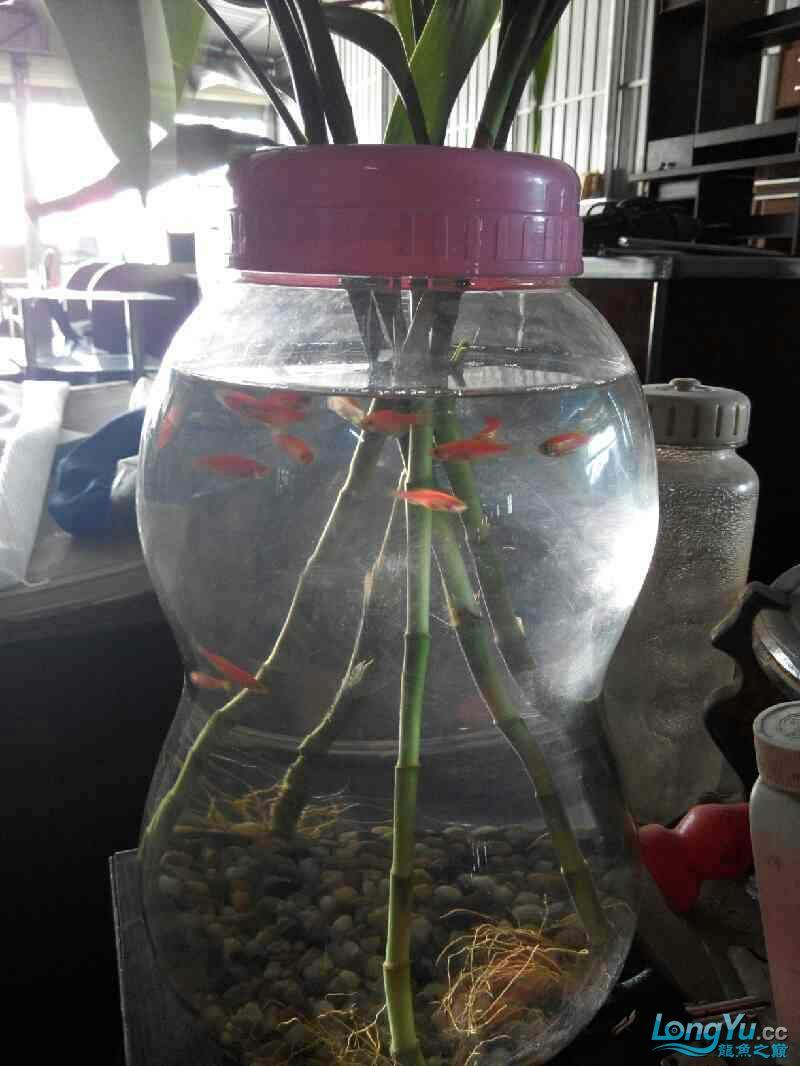 尖叫声在哪?15条红大混养 北京龙鱼论坛 北京龙鱼第3张