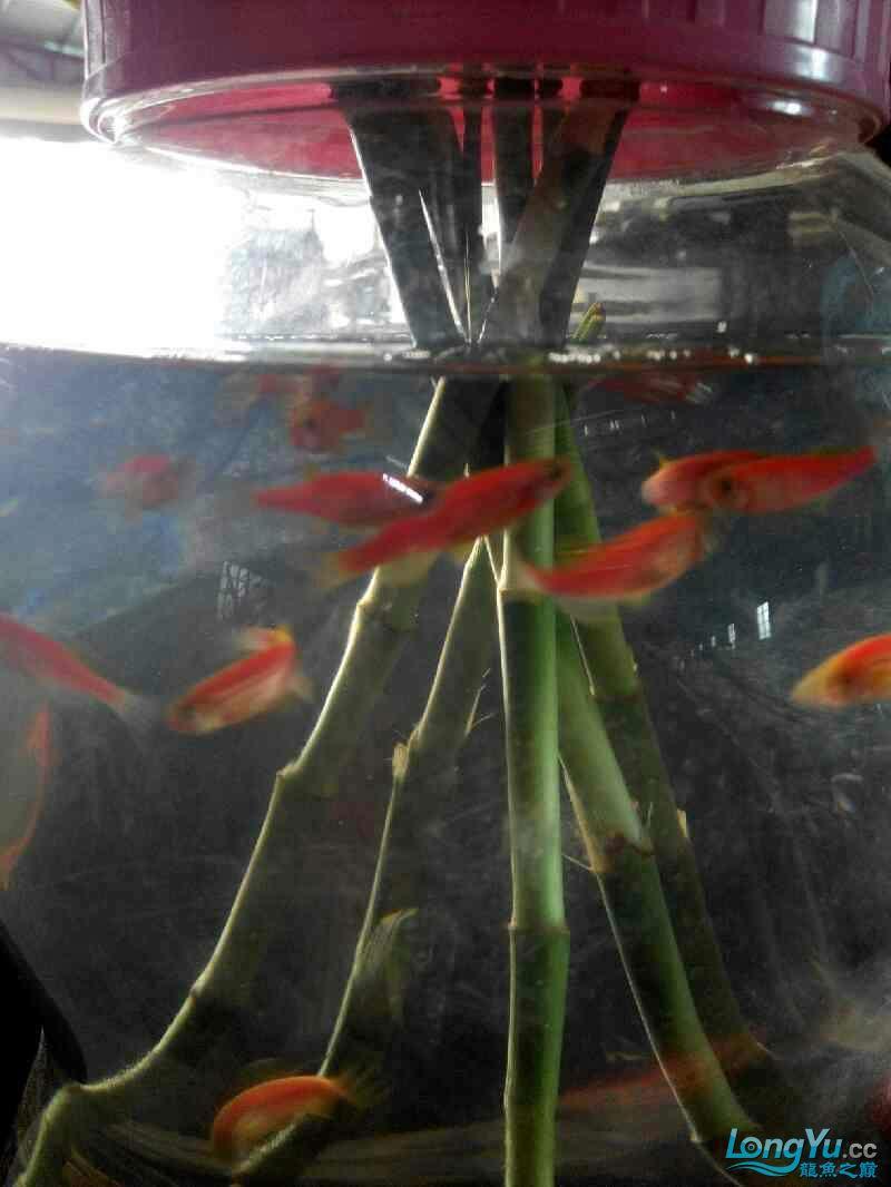 尖叫声在哪?15条红大混养 北京龙鱼论坛 北京龙鱼第4张
