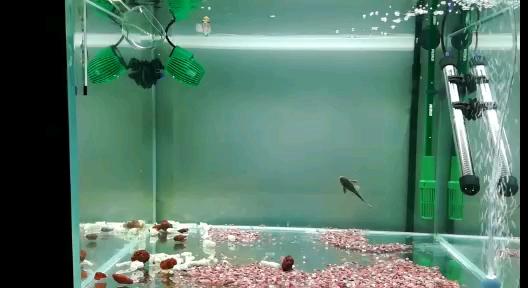 给小鱼北京斑马鱼搬个新家 北京观赏鱼 北京龙鱼第1张