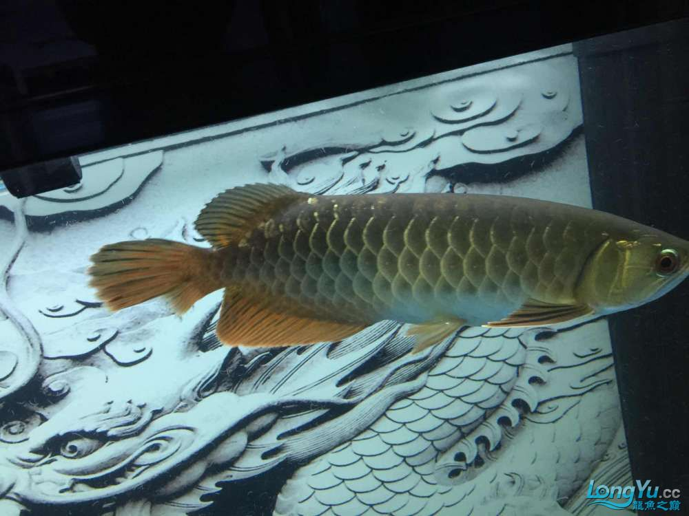 请问这是高倍还是b过?北京哪个水族店卖大白鲨求指点 北京龙鱼论坛 北京龙鱼第2张