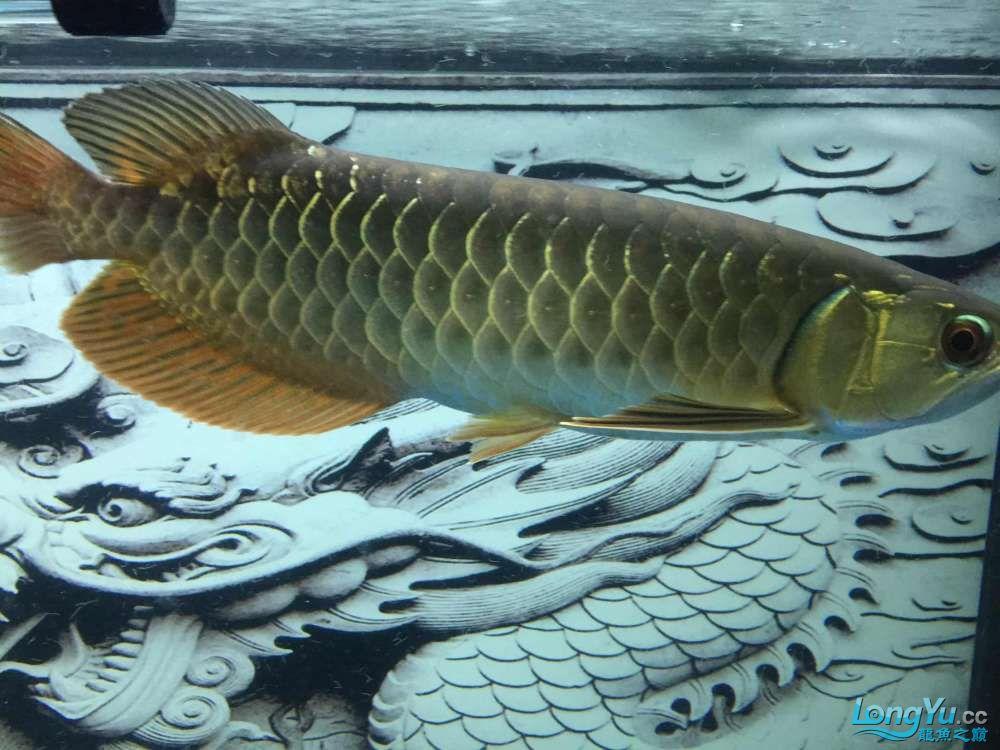 请问这是高倍还是b过?北京哪个水族店卖大白鲨求指点 北京龙鱼论坛 北京龙鱼第4张