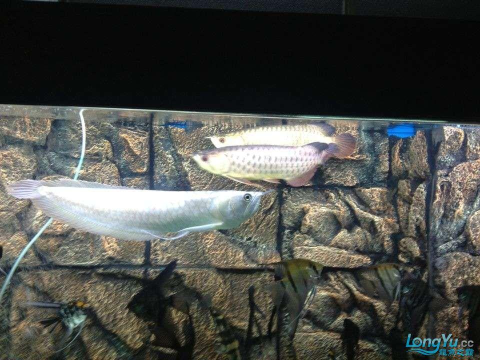 第二次混养 北京观赏鱼 北京龙鱼第2张
