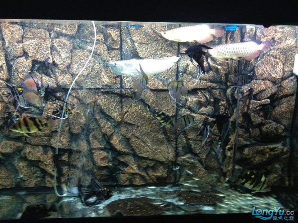 第二次混养 北京观赏鱼 北京龙鱼第3张