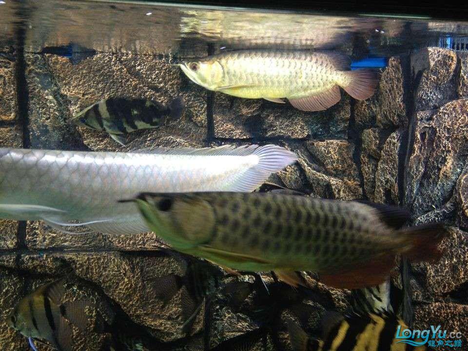 第二次混养 北京观赏鱼 北京龙鱼第7张