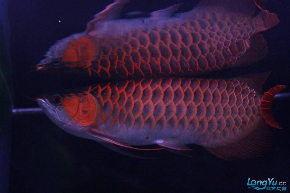 我的北京专业清洗鱼缸红龙两岁了 北京龙鱼论坛 北京龙鱼第1张