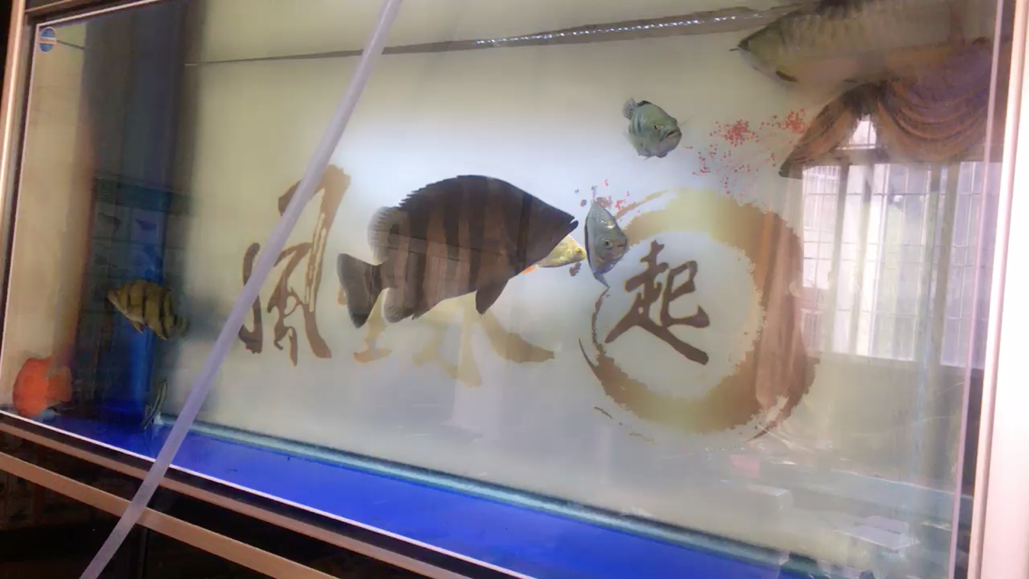 游来游去虎鱼 北京观赏鱼 北京龙鱼第1张