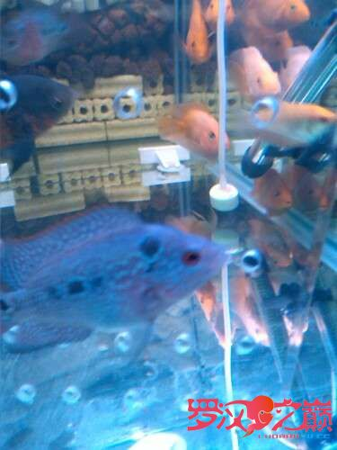 我的罗罗3个月了 北京龙鱼论坛 北京龙鱼第1张