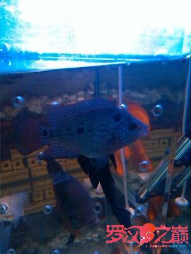 我的罗罗3个月了 北京龙鱼论坛 北京龙鱼第2张