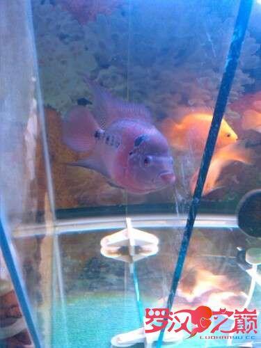 我的罗罗3个月了 北京龙鱼论坛 北京龙鱼第3张