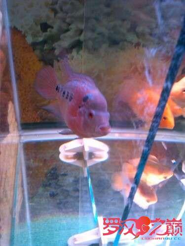我的罗罗3个月了 北京龙鱼论坛 北京龙鱼第4张
