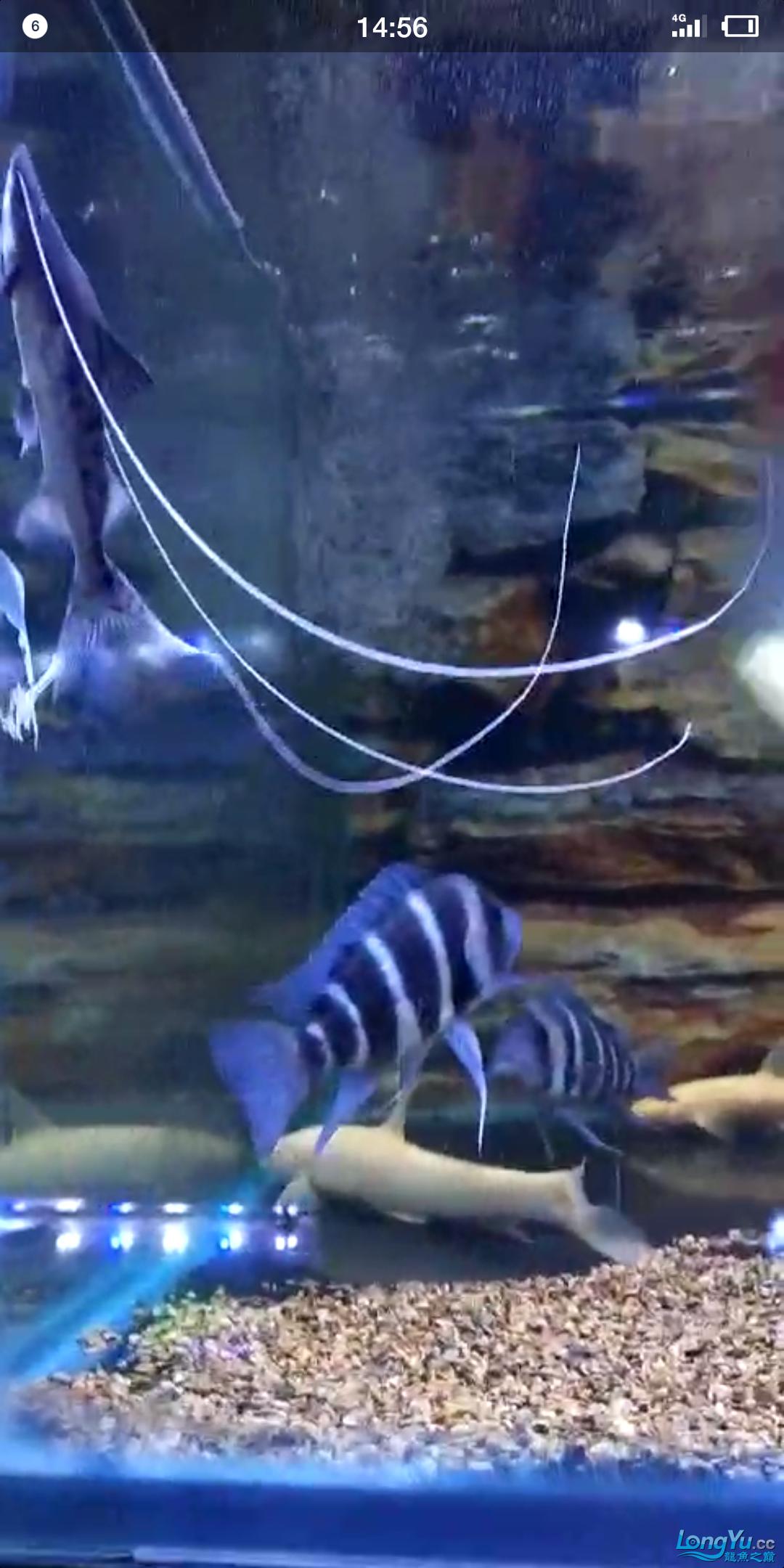 陋缸陋鱼龙鱼 北京观赏鱼 北京龙鱼第2张