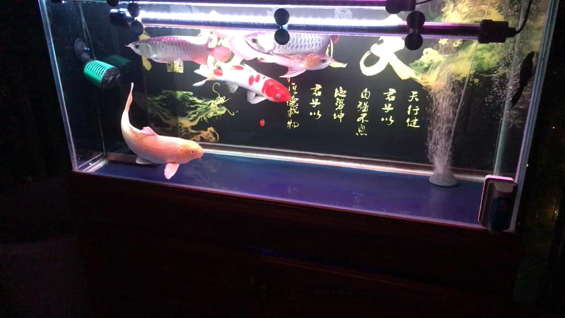水清透龙鱼 北京观赏鱼 北京龙鱼第1张