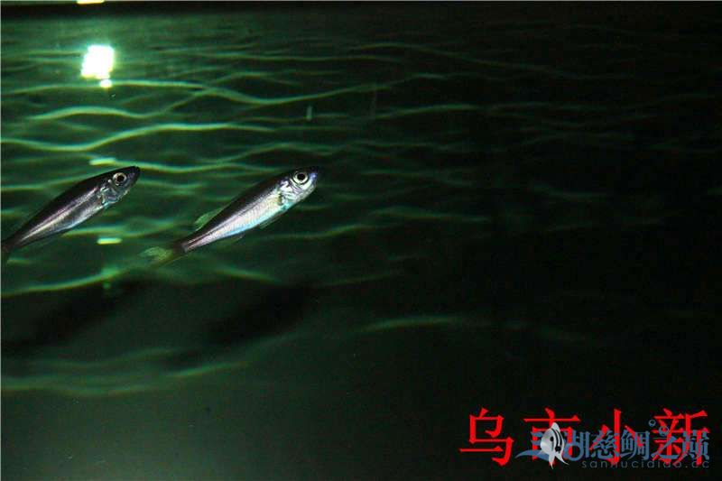 乌市小新——三湖开缸贴顺便更新下鱼(求精) 北京龙鱼论坛 北京龙鱼第8张