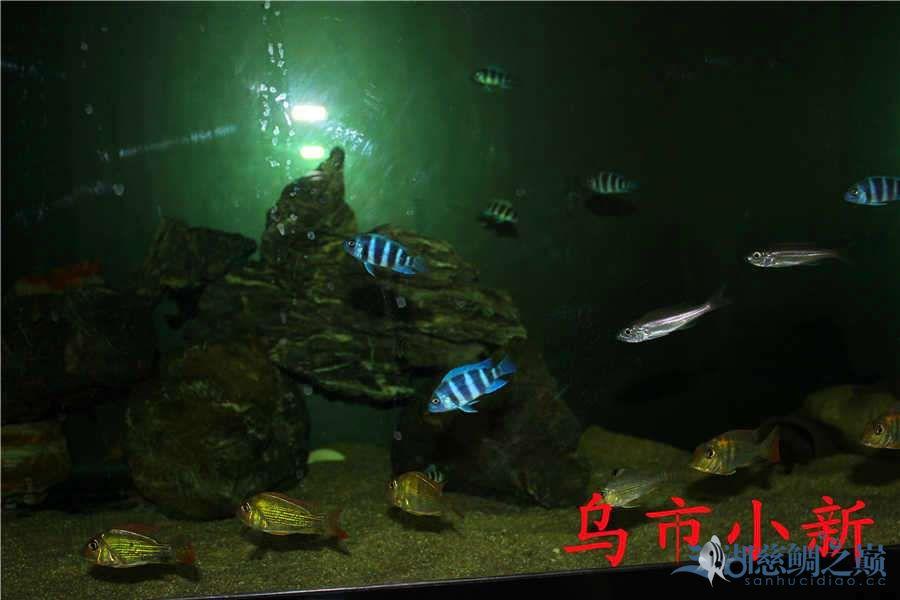 乌市小新——三湖开缸贴顺便更新下鱼(求精) 北京龙鱼论坛 北京龙鱼第9张