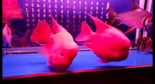 小三的中期发展 北京观赏鱼 北京龙鱼第1张